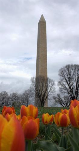 washington-monument-tulip