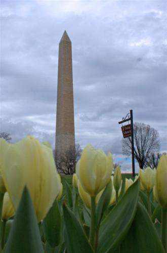 washington-monument-tulip1